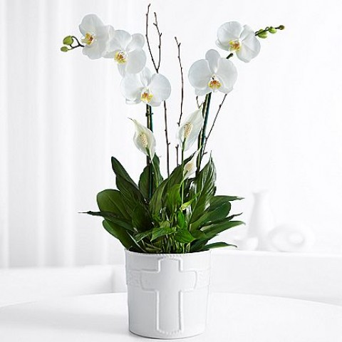 Long Life Orchid