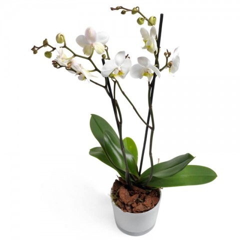 Wishful white orchids