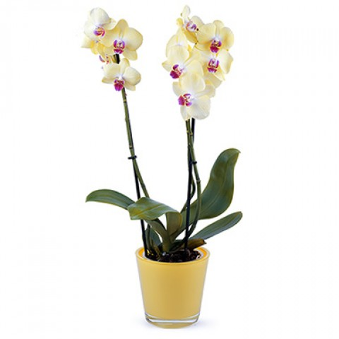 Jealous Orchid