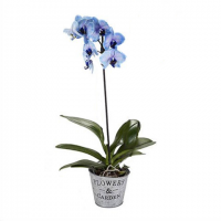 Invigorating Blue Orchid