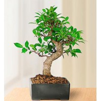 Golden Gate Bonsai