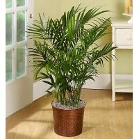 Cat Palm Floor Plant