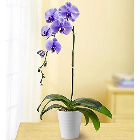 Lovely Lavander Orchid