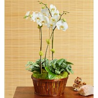 White Orchid Bamboo Garden