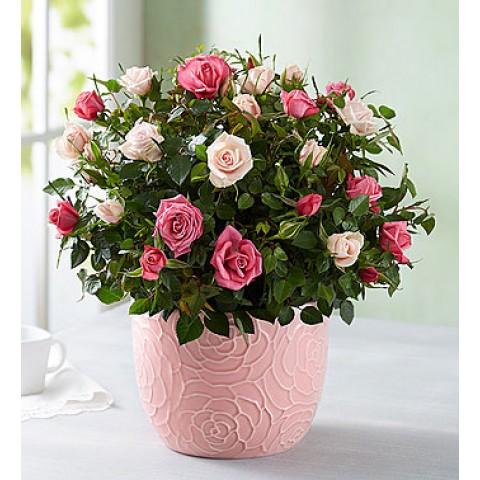 Elegant Bi-Color Rose Garden