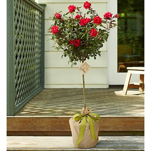 Hot Pink Rose Tree